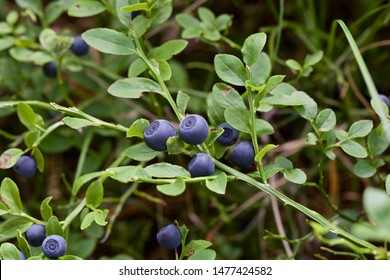 Ripe dark blue common bilberries (vaccinium myrtillus). Season: Summer 2019. Location: Western Siberian taiga.