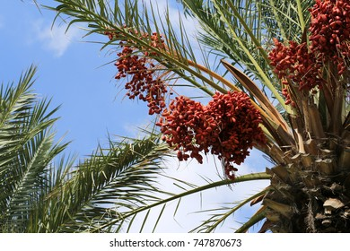 Ripe dates on the branches of a palm tree