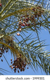 ripe dates on a palm, Middle East, Israel