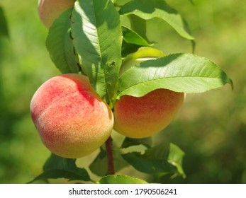 Ripe delicious fruit peaches on the tree