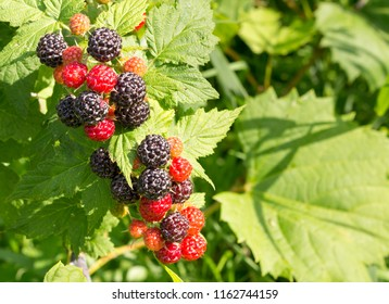 Ripe, delicious wild black raspberries growing on a leafy background. Rubus occidentalis is native to North America. Concepts of wild edibles, organic wholesome food