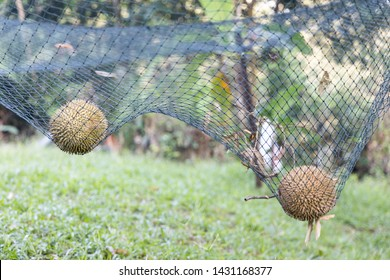 Ripe durian landed on safety net designed to cushion impact of fall at durian plantation in Malaysia