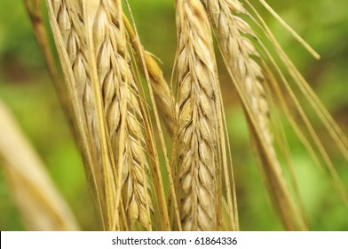 Ripe Ears of Barley