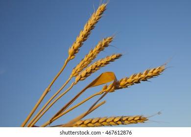 ripe ears of corn evening