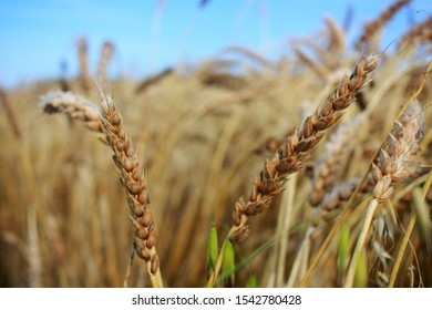 Ripe ears of wheat in the field