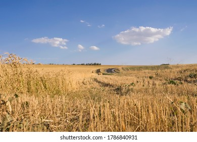 Ripe ears of wheat. Wheat field. Blue sky with clouds. Summer harvest of ripe wheat. Golden ears. Agriculture. The wheat is ripe.