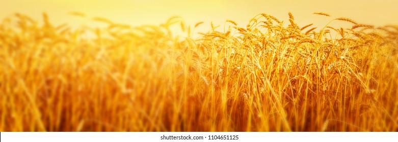 Ripe ears of wheat in field during harvest close up. Agriculture summer landscape. Rural scene. Panoramic image