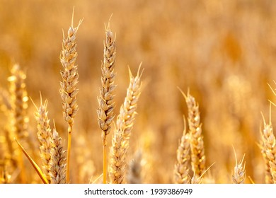 Ripe ears of wheat in a field on a blurred background in gold tones