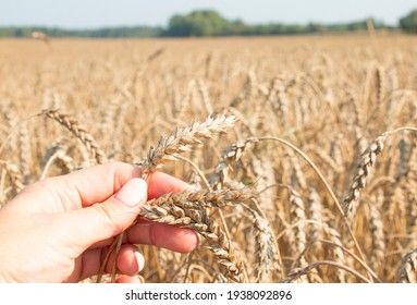 Ripe ears of wheat in the hands of a girl farmer. environmentally friendly product.