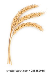 Ripe ears of wheat isolated on white background