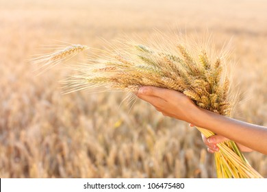 Ripe ears wheat in woman hands against a background of wheat field. Harvest concept