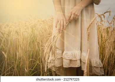Ripe ears wheat in woman hands against a background of wheat field