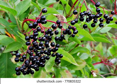 Ripe Elderberries Sambucus