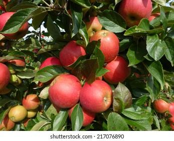 Ripe Elstar apple, Malus domestica on the tree