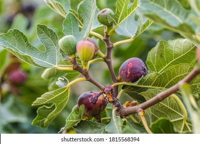 Ripe fig fruits in the canopy of the tree