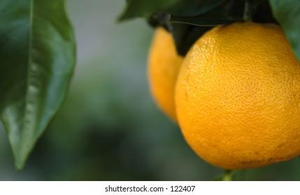 ripe florida oranges on tree