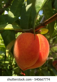 Ripe Florida peach growing on a branch.