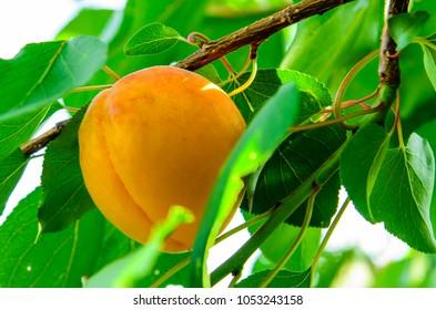 Ripe fresh apricot fruit on a branch