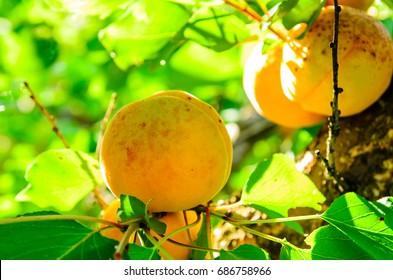 Ripe fresh apricot fruits on a branch
