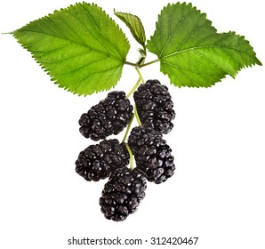 ripe fresh berries  mulberries with blackberry plant leaves. close up macro shot, Isolated on white background. five beautiful berries blackberry on a branch.