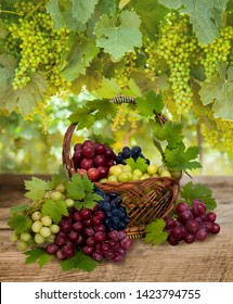 Ripe fresh black grape, green grape and red grape in basket.. Ripening green grapes in the vineyard.