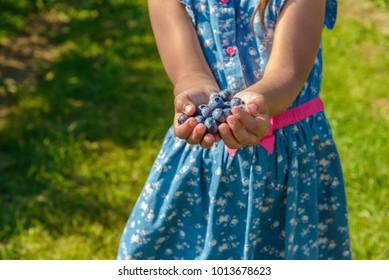 Ripe fresh blueberry in girl hands (Annapolis Valley, Nova Scotia, Canada)