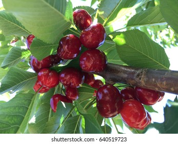Ripe and fresh cherry on the tree pick your own