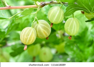 Ripe fresh green gooseberries in the garden.Growing organic berries closeup on a branch of gooseberry bush.