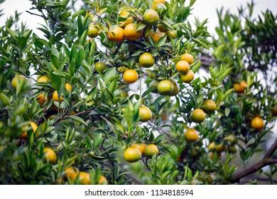 ripe fresh oranges hanging on tree in orange orchard