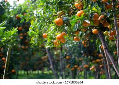 Ripe and fresh oranges hanging on branch, tangerine garden