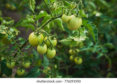 ripe and fresh tomato on the branch in garden outdoors background