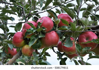 Ripe fruit apples on a tree branch with leaves