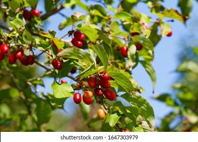 The ripe fruit of the Cornus mas (Cornelian cherry, European cornel or Cornelian cherry dogwood)