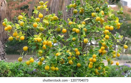 Ripe fruit on the orange tree in the square of the city of Holon in Israel.