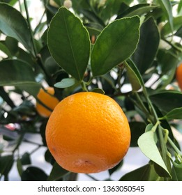 Ripe fruit on a tangerine tree branch