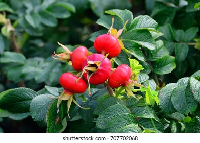 Ripe fruit rosehip