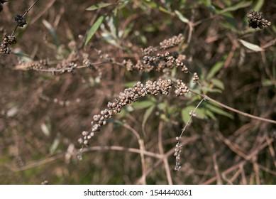 ripe fruit of Vitex agnus-castus shrub