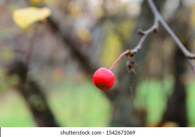 Ripe fruit of wild berry apple tree (Malus baccata) on a branch in autumn, macro photo, bokeh effect.