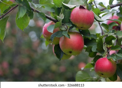 Ripe fruits of apples on a tree branch