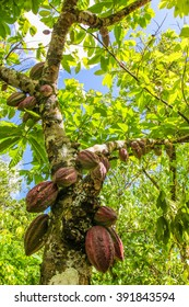 Ripe fruits of the cacao tree on tropical farm