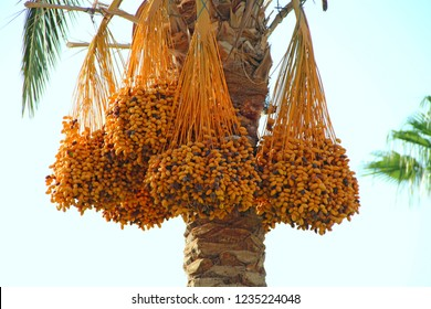 Ripe fruits of date tree hang on tree. Dates hang on tree. Tropical fruits. Close up clusters yellow ripe dates hanging on date palm. Riped date fruits clusters hanging on palm tree