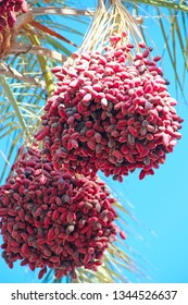 Ripe fruits of date tree hang on tree. Clusters of dates hang on tree. Tropical fruits. Close up clusters yellow ripe dates hanging on date palm. Riped date fruits clusters hanging on palm tree