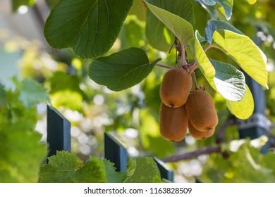 ripe fruits of kiwi plant