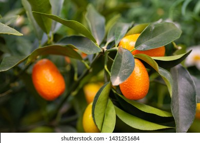 Ripe fruits of kumquat still on plant