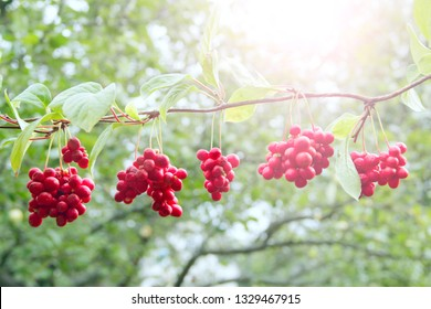 Ripe fruits of red schizandra with green leaves hang in sunny rays in garden. Red schisandra growing on branch in row. Clusters of ripe schizandra. Crop of useful plant. Schizandra chinensis plant