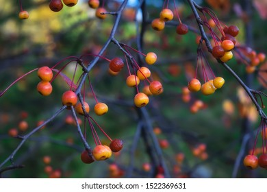 Ripe fruits of the wild Siberian apple tree Malus baccata on a blurred background.