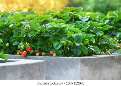 Ripe garden strawberries grow on raised beds made of concrete in a private household.