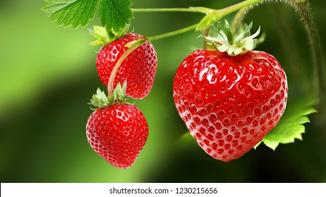 ripe garden strawberries.fresh berries