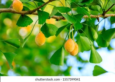 Ripe ginkgo fruit on ginkgo tree in autumn