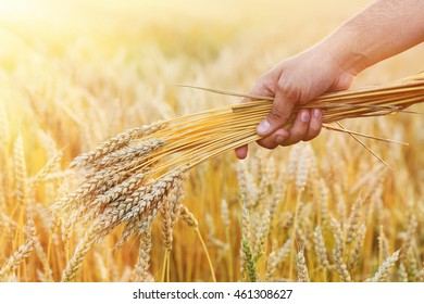 Ripe golden wheat in hand on outdoors